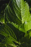 Beautiful green leaves with unique leaf veins. royalty free stock images
