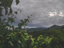 Beautiful green leaves of vineyard and stormy sky above mountains. In georgia stock photography