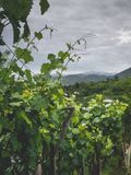 Beautiful green leaves of vineyard and stormy sky. In georgia royalty free stock photo