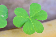 Beautiful green leaves of Water clover royalty free stock photography