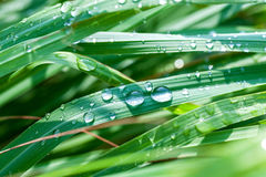 Beautiful green lemongrass leaf background Stock Images