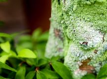 Beautiful green lichen, moss and algae growing on tree trunk. Close-up of beautiful green lichen, moss and algae growing covered on tree trunk in the garden royalty free stock photos