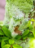 Beautiful green lichen, moss and algae growing on tree trunk. Close-up of beautiful green lichen, moss and algae growing covered on tree trunk in the garden royalty free stock photo