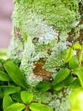 Beautiful green lichen, moss and algae growing on tree trunk. Close-up of beautiful green lichen, moss and algae growing covered on tree trunk in the garden stock photography