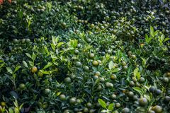 Beautiful green limes with leaves growing on branches of lime. Trees, vietnam stock images