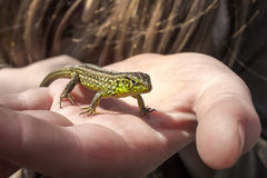 Beautiful green lizard. Basking in the hand Stock Images