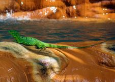 Beautiful green lizard iguana under a waterfall. In Costa Rica stock images