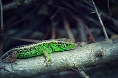 Green Lizard on a branch. A beautiful green lizard resting on a branch in the sun royalty free stock photo