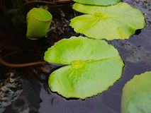 Beautiful green lotus or water lily leafs in the water pond. Oriental garden.Natural exotic background stock photo