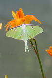 Beautiful green Luna Moth sits on a day lilly. Royalty Free Stock Image