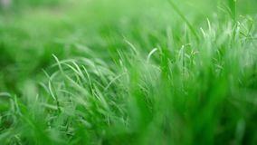 Beautiful green lush grass background. Close up view. Beautiful green lush grass background stock video footage