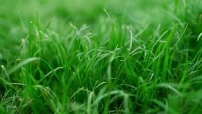Beautiful green lush grass background. Close up view. Beautiful green lush grass background stock footage