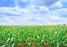 Beautiful green maize field Royalty Free Stock Photography