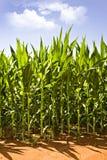Beautiful green maize growing on the field Stock Photo