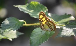 Beautiful Green Malachite Butterfly Perched on a Leaf. Green malachite butterfly perched on the leaf of a plant royalty free stock photos