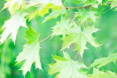 Beautiful green maple leaves background Stock Images