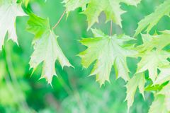 Beautiful green maple leaves background Stock Photography