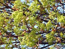 Beautiful green maple trees in spring, Lithuania. Nice green maple trees starting to flowering  in spring stock image