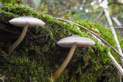 Moss and two mushrooms are growing on the floor of the forest royalty free stock photo