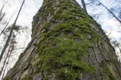Moss. Beautiful green moss on the bark of a tree Stock Photography