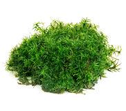 Beautiful green moss close-up isolated on a white background. Stock Images