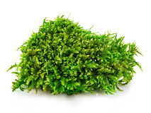 Beautiful green moss close-up isolated on a white background. Beautiful green moss close-up isolated on a white background Royalty Free Stock Photography