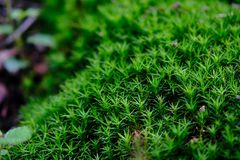 A green moss patches covered rocks in New Forrest National Park, U.K. close up view. A beautiful green moss grows during rainy season on a rock. It has a very stock photography