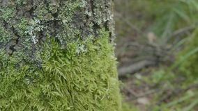 Beautiful green moss. Moss grows on the tree, beautiful background of moss. Leaf on Moss, autumn, forest, Nature. Wildlife stock footage