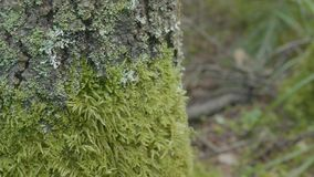 Beautiful green moss. Moss grows on the tree, beautiful background of moss. Leaf on Moss, autumn, forest, Nature Stock Photography
