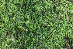 Beautiful green moss on the stone, moss closeup, macro. Beautiful background of moss for wallpaper. - Image stock images