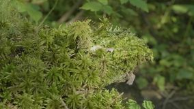 Beautiful green moss in the sunlight. Moss grows on the tree, beautiful background of moss. Leaf on Moss, autumn, forest. Nature,Wildlife stock video