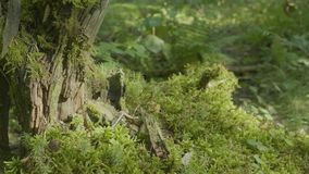 Beautiful green moss in the sunlight. Moss grows on the tree, beautiful background of moss. Leaf on Moss, autumn, forest. Nature,Wildlife stock video footage