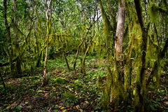 Beautiful green mysterious mossy forest in Santa Royalty Free Stock Image
