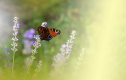 Beautiful Green Nature Background.Butterfly In Lavender Field.Colorful Macro Photography.Abstract Photo.Beauty In Nature.Flower. Royalty Free Stock Photography