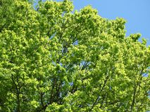 Green oak tree in spring, Lithuania Stock Photography