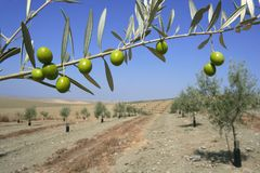 Beautiful green olive field macro over blue sky Stock Photos
