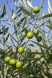 Beautiful green olive field macro over blue sky Stock Photos