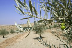 Beautiful green olive field macro over blue sky Stock Photo