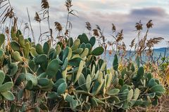 The beautiful green Opuntia plants and Arundo donax giant cane on the background of mountains and a valley and the sky at sunset. The beautiful green Opuntia stock photos