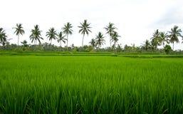 Beautiful paddy field in Bali. Beautiful green paddy field in Bali royalty free stock photography