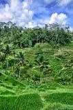 Paddy Field in Bali Stock Photo