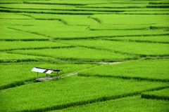 Beautiful green paddy field full of rice In the province of Nan It is beautiful, fresh in the rain season, tourist attraction in t. Hailand Stock Photography