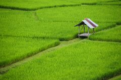 Beautiful green paddy field full of rice In the province of Nan It is beautiful, fresh in the rain season, tourist attraction in t. Hailand Stock Images