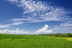Free Beautiful Green Paddy Terraces Under Bright Blue Sky With Clowds Royalty Free Stock Photography - 55887067