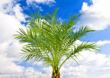 Beautiful green palm Royalty Free Stock Photo