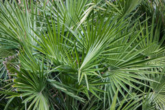 Beautiful green palm branches close up Royalty Free Stock Photos
