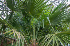 Beautiful green palm branches close up. In high quality Stock Photo