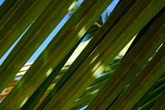 Beautiful green palm leaf closeup. Bright background. stock photography