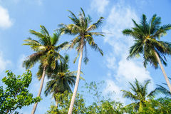 Beautiful green palm trees on the blue sky Royalty Free Stock Image