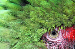 Beautiful green parrot face and eye up close and personal. Close up macro photo of colorful, exotic green parrot face and eye with pink surround stock photo